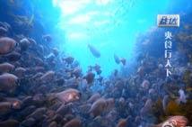 济州岛海底的大章鱼