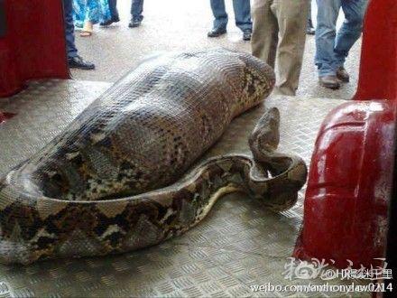 大蛇吃人事件_网传云南曲靖蟒蛇吞人引轩然大波 警方证实是假消息