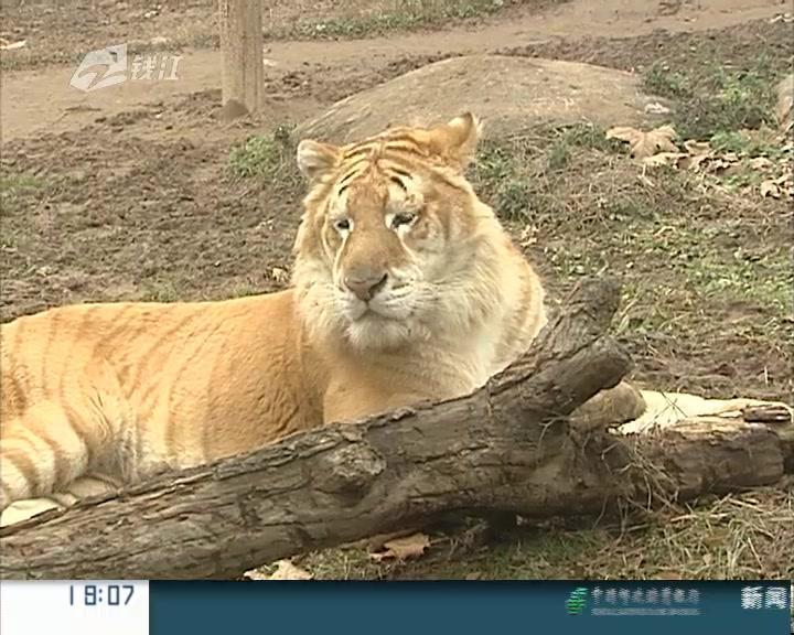 杭州野生动物园  来了一对金虎