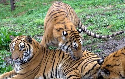 """印度德里动物园20岁的孟加拉虎""""纳瑞许"""""""
