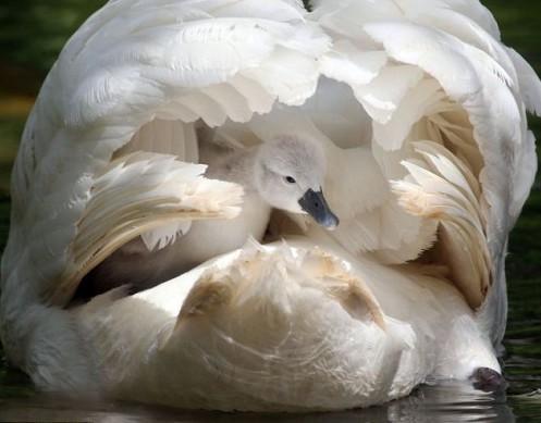"""动物亲子时光:妈妈帮小猫头鹰穿""""隐形衣""""(图)"""