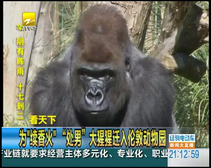 """为""""续香火""""""""处男""""大猩猩迁入伦敦动物园"""