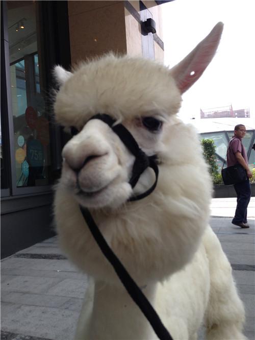 找一下羊驼动物的趣图