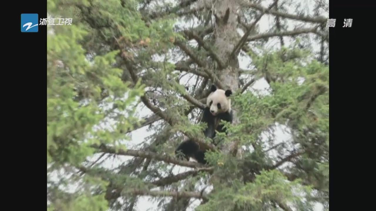 陕西:大熊猫爬上大松树