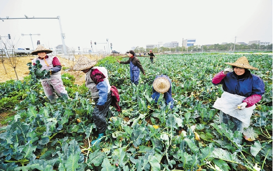 2月3日,临海、温岭、椒江、路桥等地的西兰花种植户抢收成熟的西兰花。图为临海上盘镇菜农在抢收。