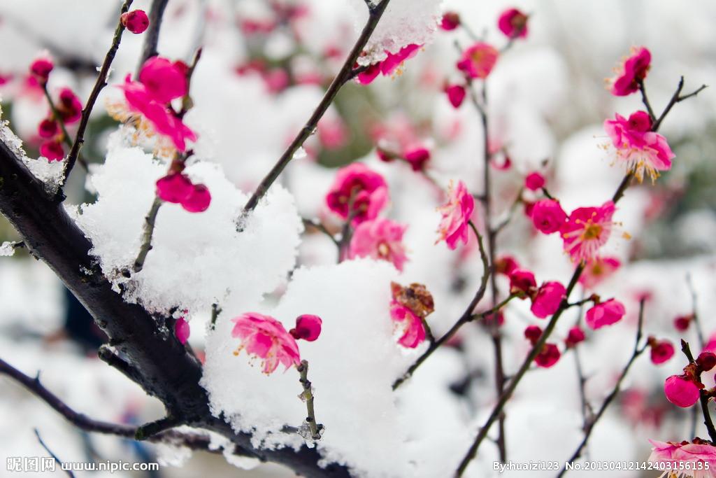 梅花进入盛花期 冬日赏梅迎来最佳时节