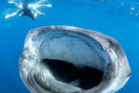 鲸鲨大嘴捕食似宇宙黑洞潜水者险被吸入(图)