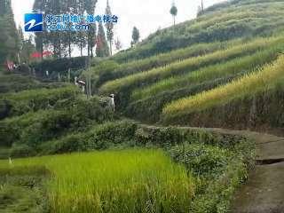 【瓯海区】泽雅街道走千年古道 赏金色稻田