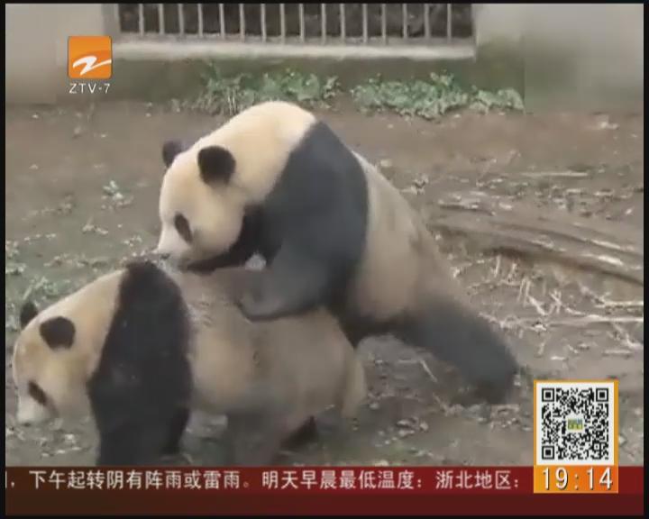 大熊猫交配过程全球首播