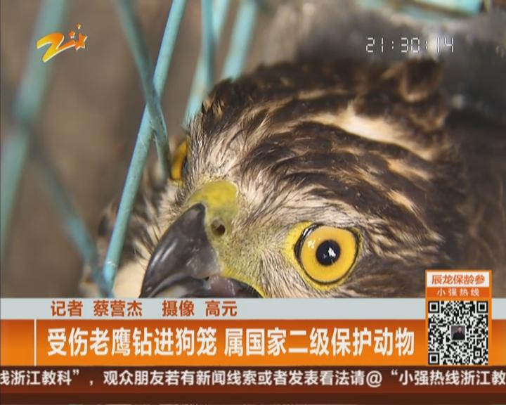 受伤老鹰钻进狗笼 属国家二级保护动物