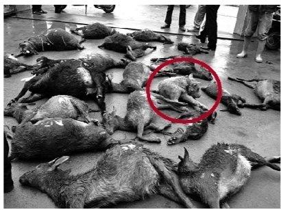 3只猎犬咬死33只山羊 协商后猎犬主人赔钱2.8万