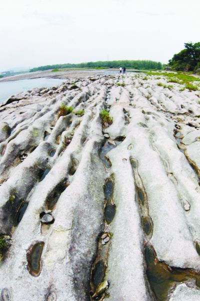 """瓯江现凝固波浪地质奇观排排石波浪 竟是古河床 数百米的凝灰岩河床上,没有水但却""""波浪起伏"""":一排排""""石波浪""""前呼后拥,一朵朵""""石浪花""""相互追逐,这是瓯江石牛段一片古河床上奇特的地质奇观。昨天,本报记者与浙江省第七地质大队专家来到这片河床进行探访。 陈炜 摄"""