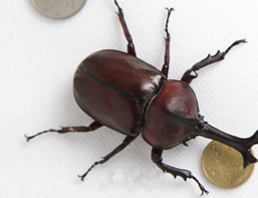 如此巨大的甲虫!你认识吗?