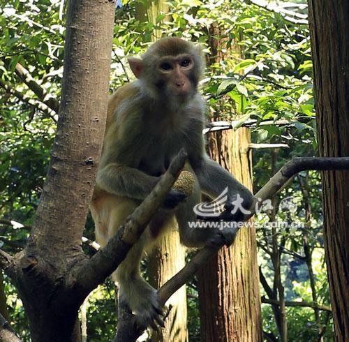 猴子喂避孕药