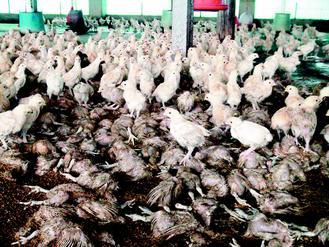 云林县一只鸡舍遭水淹,许多鸡被淹死。联合报图