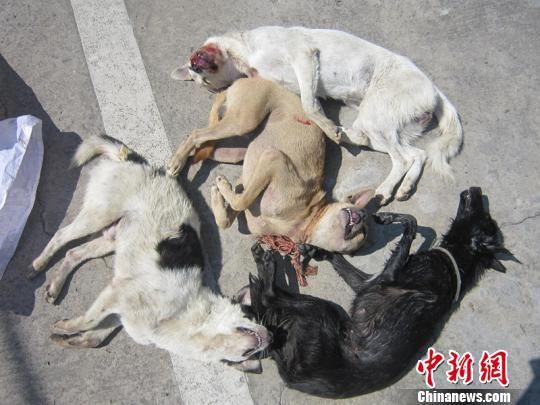 图为被毒杀的家狗。