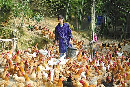 图为黄雄志正在喂鸡。(冯小平 摄)