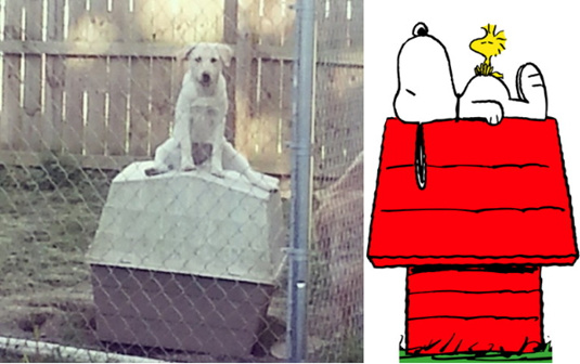 狗模仿漫画史努比坐狗屋屋顶幻想被称很傻又可爱