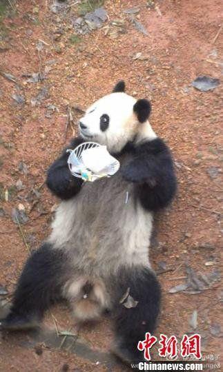 杭州动物园一熊猫遭扇子砸 园方称是游客误掉