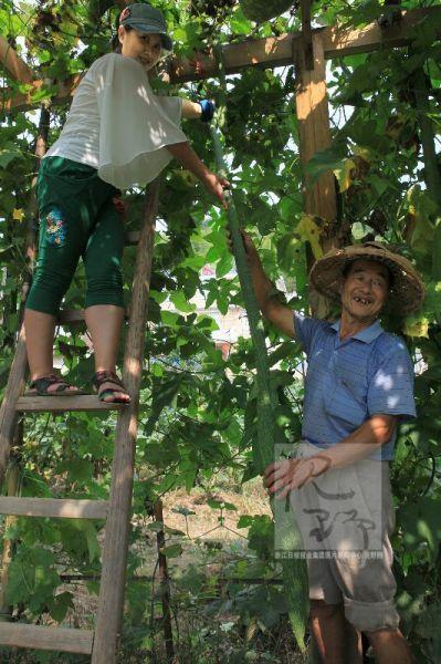 衢州村民种出2米多长丝瓜 比肩姚明