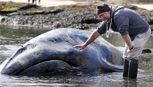 当地官方将邀请相关人员对巨型鲸鱼的残骸进行处理。