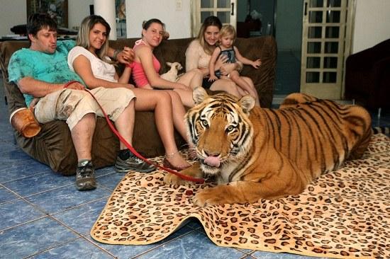 """巴西""""真汉子""""养7只老虎两岁孙女骑虎玩耍(图)"""