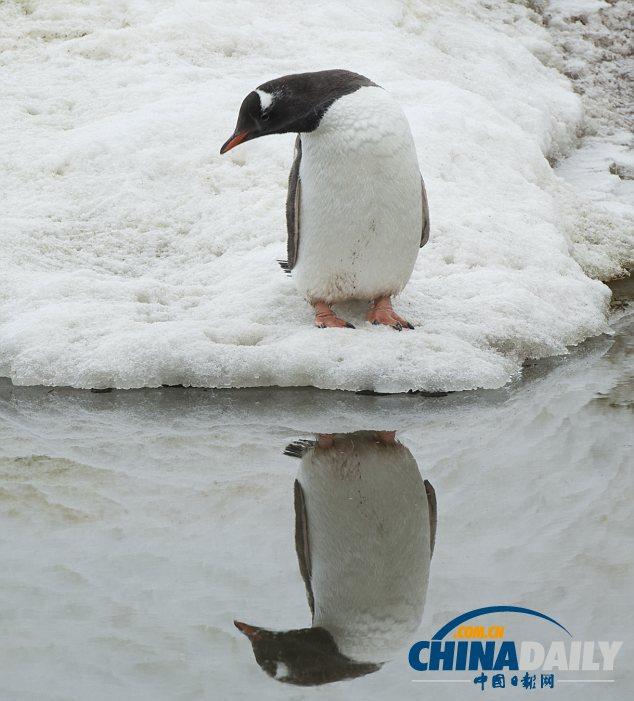 """南极企鹅""""照镜子""""10分钟 陶醉于倒影很自恋(组图)"""