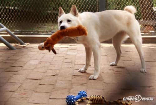 """母犬""""学田""""摆弄自己的玩具。"""