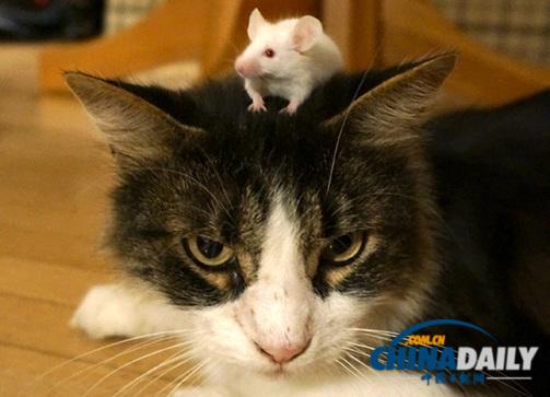 研究发现寄生虫能让老鼠不再怕猫