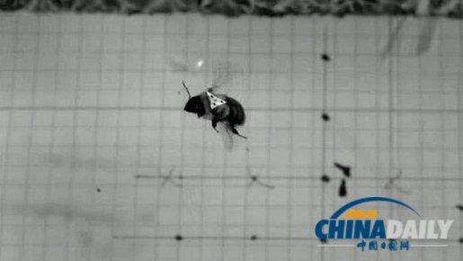 大黄蜂风中飞行 启发科学家改进飞行器