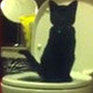难忍猫沙臭味美国男子教会小猫使用抽水马桶