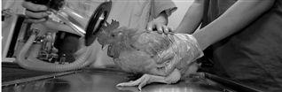做手术的公鸡