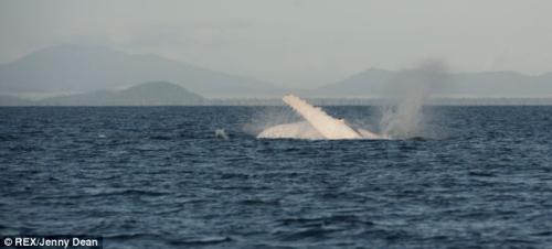 白色的座头鲸最终游回海底。