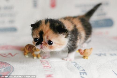 这只异国短毛猫对异种非常友好。