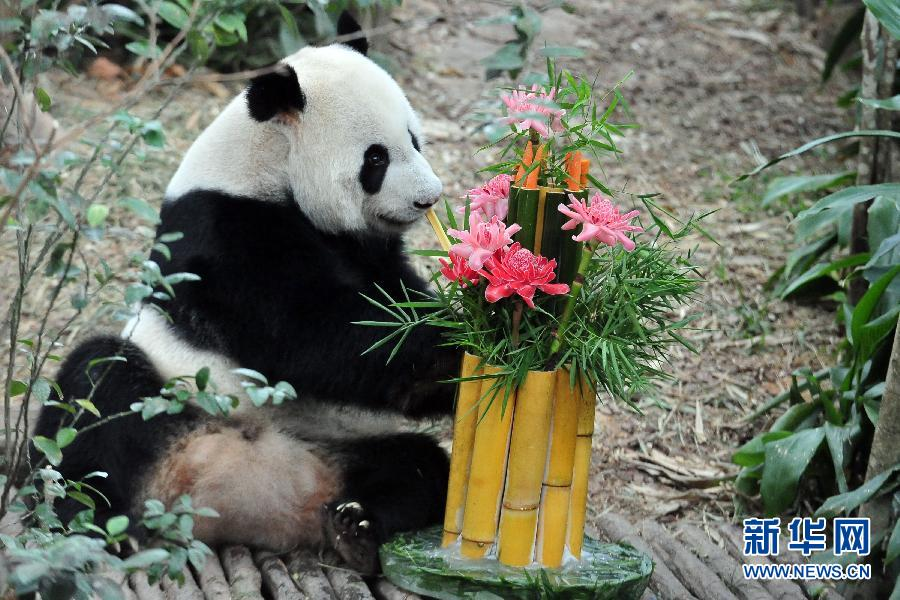 """(国际)(2)新加坡:大熊猫""""凯凯""""和""""嘉嘉""""过生日"""
