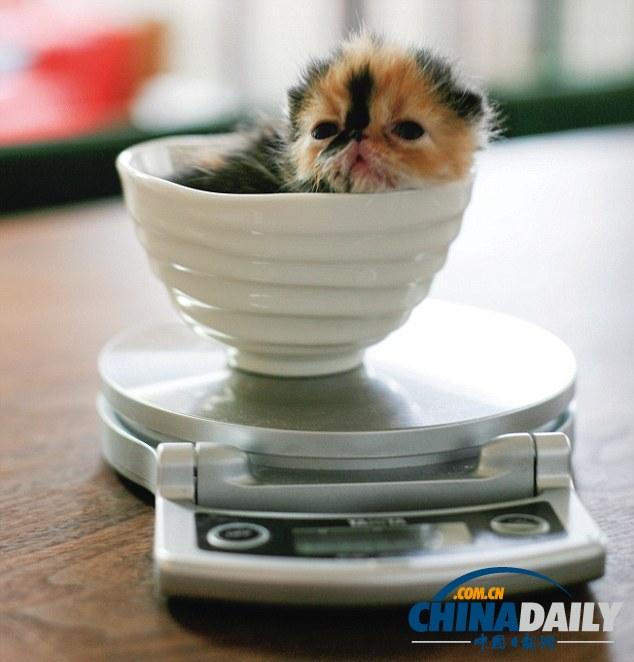 """""""世界第一萌猫""""蹿红网络 卧在杯中小巧可爱"""
