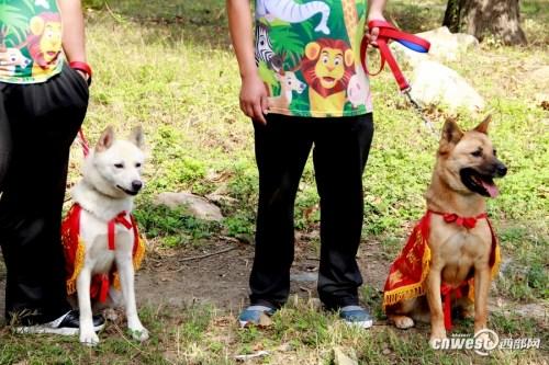 """两只庆州犬穿着""""盛装"""",第一次走出笼舍,进行外放训练。"""