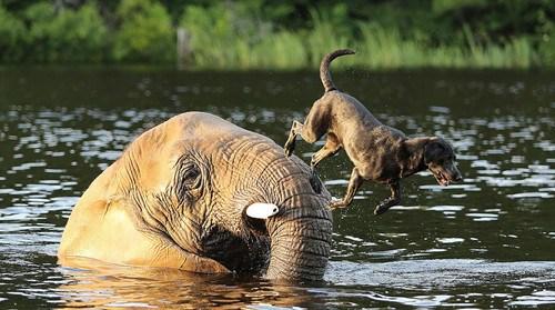 拉布拉多犬从象背上一跃而下追寻飞出的球。