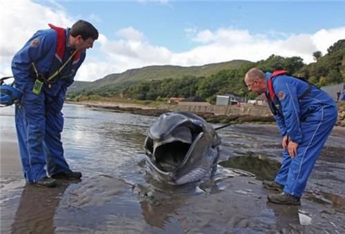 鲸鱼可能是与母亲失散或感染疾病而迷失了方向,导致搁浅。