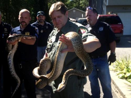 纽约男子在家中养育多达800余条蛇被控违法(图)