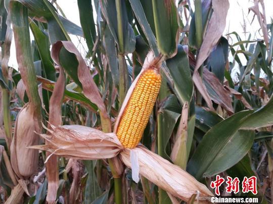 尖山乡使用化肥的庄稼 王登峰 摄