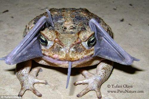 贪心蟾蜍欲一口吞整只蝙蝠难下咽致其逃脱(图)