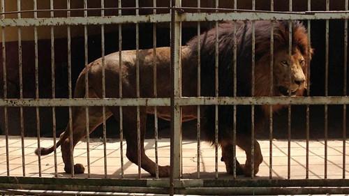 动物园人员搅狮子睡梦遭袭击10多分钟死亡(图)