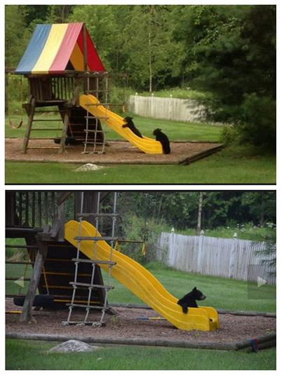 美一母熊带队闯民宅找食两小熊自顾玩起溜滑梯
