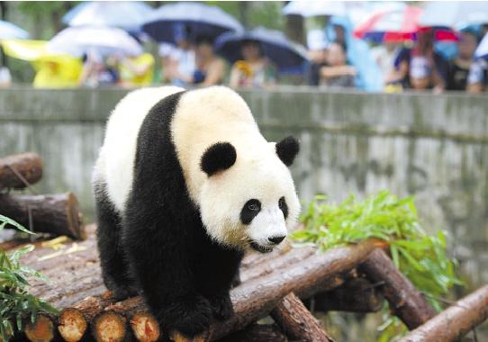 """9月21日,杭州动物园为大熊猫""""蜀云""""举办欢送会,让孩子们陪伴""""蜀云"""",一起度过在杭州的最后一段欢乐时光。记者 董旭明 摄"""