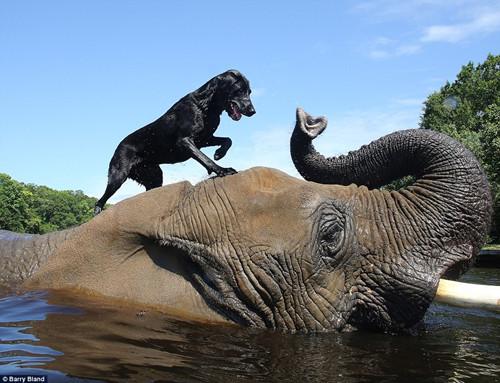 非洲象与拉布拉多犬之间的接球游戏(组图)