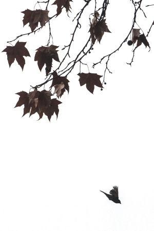西湖边,一只麻雀飞过枯黄的梧桐枝头。 记者 陈中秋 摄