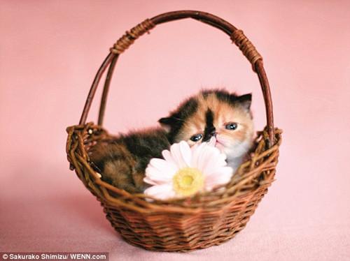 """这只小异国短毛猫被誉为""""世上最萌猫咪""""。"""