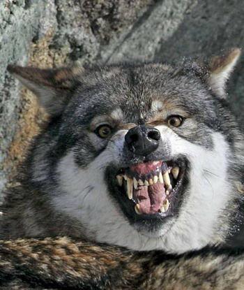 哈萨克斯坦男子徒手扼死野狼