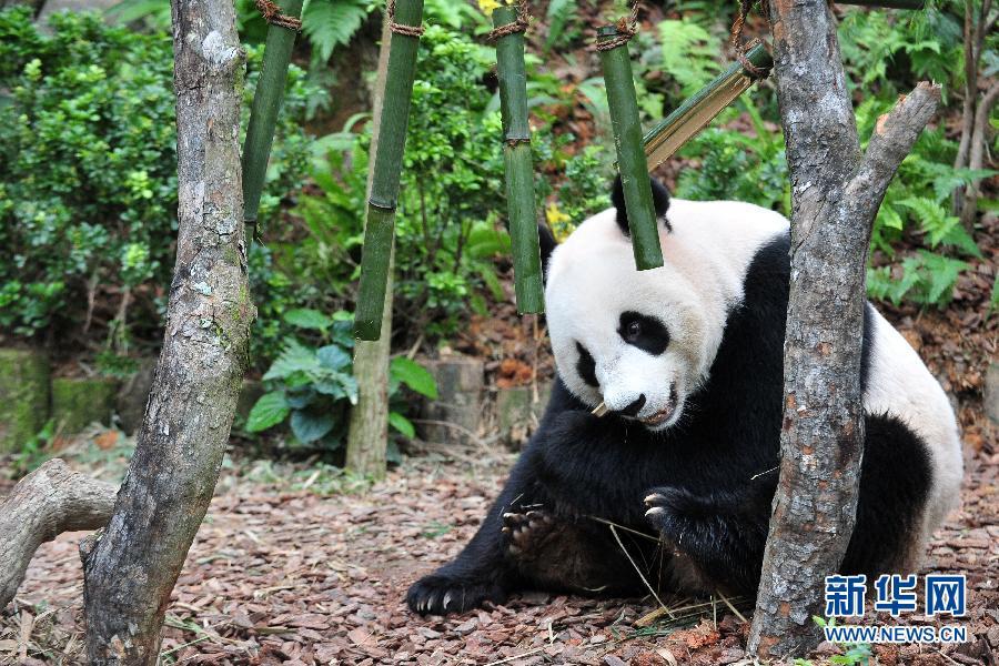 """(国际)(1)新加坡:大熊猫""""凯凯""""和""""嘉嘉""""过生日"""